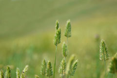 Setaria Stock Photography