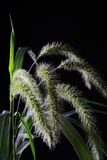 Setaria. Some setaria with black background, the meaning of setaria:low self-esteem,not being aware and the difficult of love royalty free stock photography