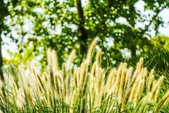 Setaria viridis (Λ ) Beauv Στοκ Εικόνα