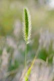 Setaria viridis Growing in the Meadow Royalty Free Stock Photo