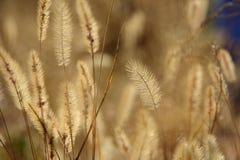 Setaria viridis (L.) Beauv. Stock Image