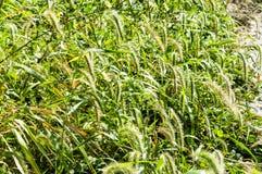 Setaria viridis Stock Photography