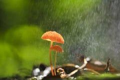 Setas anaranjadas, siccus del Marasmius Fotos de archivo libres de regalías