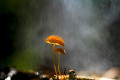 Setas anaranjadas, siccus del Marasmius Imagenes de archivo