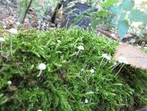 Setas blancas del musgo en el bosque Fotos de archivo libres de regalías
