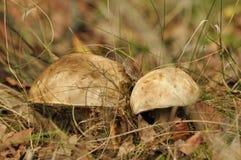 Setas comestibles Boleto que crece en el bosque foto de archivo