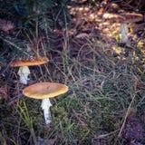 Setas con los casquillos marrones ocultados en hierba del bosque fotos de archivo libres de regalías