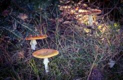 Setas con los casquillos marrones ocultados en hierba del bosque imagenes de archivo