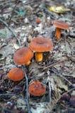 Setas con los sombreros y las piernas anaranjados Imagen de archivo