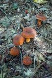 Setas con los sombreros y las piernas anaranjados Foto de archivo libre de regalías