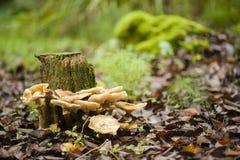 Setas de Brown que crecen en un tocón de árbol Fotografía de archivo