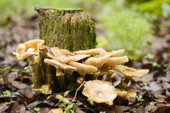 Setas de Brown que crecen en un tocón de árbol Imagen de archivo