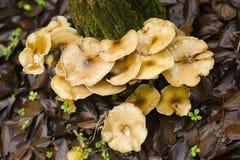 Setas de Brown que crecen en un tocón de árbol Imágenes de archivo libres de regalías