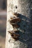 Setas de Chaga en bosque de la primavera Imagenes de archivo