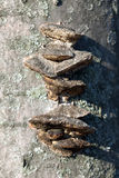 Setas de Chaga en bosque de la primavera Fotos de archivo