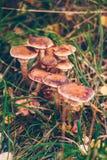 Setas de los solidipes del Armillaria en un prado Fotos de archivo libres de regalías