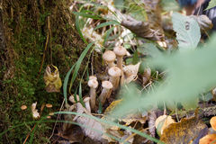 Setas de miel en bosque del otoño Fotografía de archivo libre de regalías