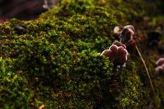 Setas de ostra jovenes que crecen en un árbol caido Musgo verde que cubre un árbol en el bosque fotos de archivo