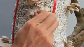 Setas de ostra de la cosecha de los granjeros almacen de metraje de vídeo