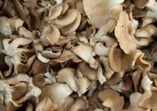 Setas de ostra orgánicas Foto de archivo