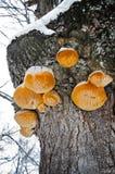 Setas de Polypore que crecen en un árbol Foto de archivo libre de regalías