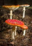 Setas del agárico de mosca en el bosque Imagen de archivo libre de regalías