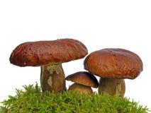 Setas del Bolete en el musgo aislado en wh Fotografía de archivo
