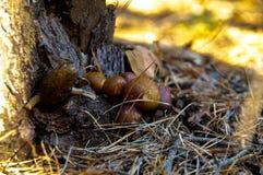 Setas del bosque debajo del pino imagenes de archivo