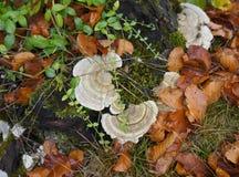 Setas del hongo del abedul Imagen de archivo libre de regalías