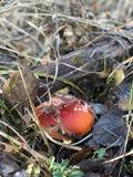 Setas del otoño, amanita, en las hojas, en la hierba, setas imágenes de archivo libres de regalías