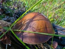 Setas del otoño en el bosque Imagenes de archivo