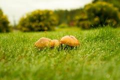Setas del otoño en gotas de lluvia de la hierba Fotos de archivo