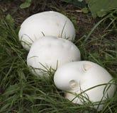 Setas del puffball gigante Foto de archivo libre de regalías