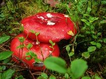 Setas del Russula con los sombreros rojos Fotos de archivo