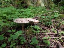 Setas en bosque imagen de archivo libre de regalías