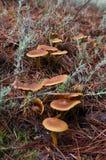 Setas en el pino Forest Floor Foto de archivo