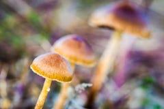 Setas. En el Valle del Ambroz, Cáceres, Extremadura, Spain Stock Image