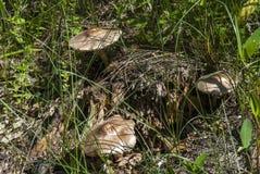 Setas en la madera de abedul Fotografía de archivo libre de regalías