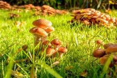 Setas en mi jardín, Honey Fungus Foto de archivo libre de regalías