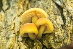 Setas en su hábitat natural, hongos que cuelgan hacia fuera en un árbol foto de archivo libre de regalías