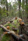 Setas en un tocón de árbol Fotografía de archivo libre de regalías