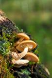 Setas en un tronco de árbol viejo Fotografía de archivo libre de regalías