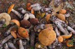 Setas frescas del corte en el bosque Foto de archivo libre de regalías