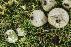 Setas fungosas del Puffball en Moss Background verde La seta central está en foco imagen de archivo