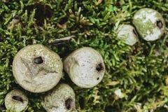 Setas fungosas del Puffball en Moss Background verde La seta más grande está en foco Imagen de archivo libre de regalías