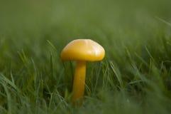Setas inglesas salvajes del bosque que crecen en otoño Fotografía de archivo libre de regalías