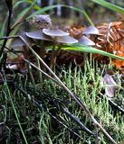 Setas jovenes que crecen en las raíces de un árbol en Autumn Forest Fotos de archivo libres de regalías