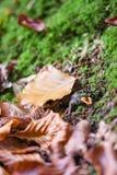 Setas manchadas del agárico de mosca en el bosque Imagenes de archivo