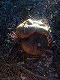 Setas mushrooms. Mushrooms setas wild forest bosque Stock Photo