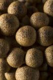 Setas orgánicas crudas de la haya de Brown Foto de archivo libre de regalías
